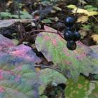 birdberries