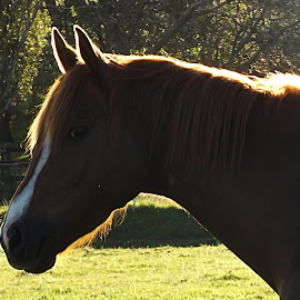 afternoon sun horse by Lacey Murphy - Animals Horses ( horse )