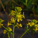 Common Winter Cress