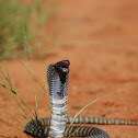 Zebra Spitting Cobra
