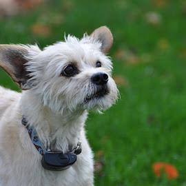 Adorable Mutt by Viana Santoni-Oliver - Animals - Dogs Portraits ( domesticated, pet, white, dog, mutt, mix, mammal, animal )