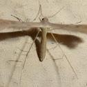 T-Moth or Plume Moth