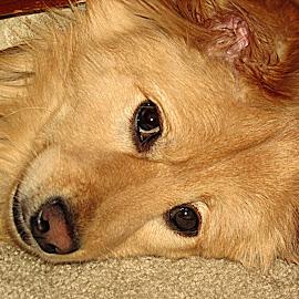 by Hazel Malmede - Animals - Dogs Portraits (  )