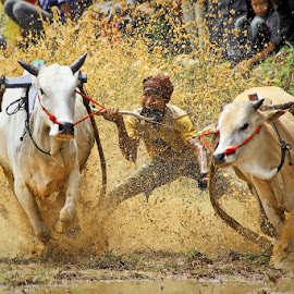 Bull Race by Andy Adam - Sports & Fitness Other Sports ( sumatera, padang, indonesia, bull, culture )