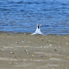 Least Terns (Breeding Plumage)
