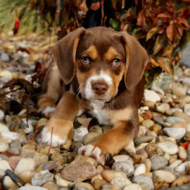 Sweet eyes by Jessica Williams Bender - Animals - Dogs Puppies ( beagle puppy, puppy laying down in rocks, garden rocks,  )