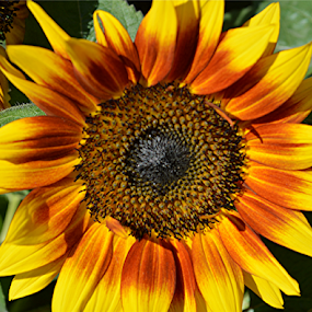 Sunflower by Raymond Earl Eckert - Flowers Single Flower ( gerden; delight; color; colorful; center; piece,  )