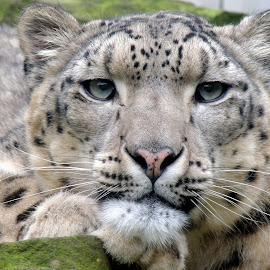 Snow Leopard by Kathryn Willett - Animals Lions, Tigers & Big Cats ( zoo, captive, photography, snow leopard, portrait )