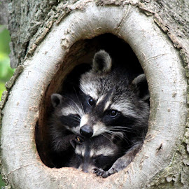 Raccoons Den by Nicki Carlton Boggs - Novices Only Wildlife ( babies, baby raccoon, animals, pets, trees, wildlife, raccoon )