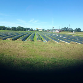 Strawberry rows by Terry Linton - Nature Up Close Gardens & Produce (  )