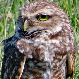 Burrowing Owl - Digital Oil by Steven Aicinena - Digital Art Animals (  )
