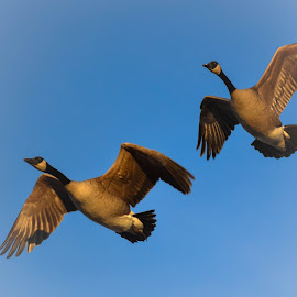 Golden hour geese by Susan Palmer - Novices Only Wildlife ( nature, canadian geese, wildlife, sunlight, geese, animal, golden hour )