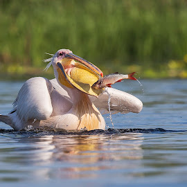 Fast food by Ionel Onofras - Animals Birds ( bird, fish, delta, fishing, pelican, bird watching )