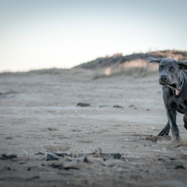 Weim on the Beach by Dean Tunberg - Animals - Dogs Running ( weimaraner, sunset, ears, beach, running )