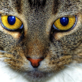 Cat's Eyes by Natures Gifts - Animals - Cats Kittens ( cat, fur, yellow, animal, eyes,  )