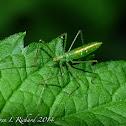 Assassin bug (nymph)