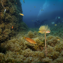 Divers gone and the peace returned by Alexandre Ribeiro Dos Santos - Landscapes Underwater ( sabellid worm, atlantic ocean, açores, underwater photography, sphirographis, baixa sul, portugal, faial, azores )