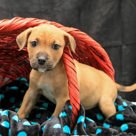 Puppy Love  by Janice Carabine - Animals - Dogs Puppies ( adoption, basket, puppy )
