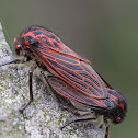 Red-veined Leafhopper