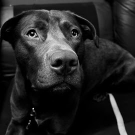 Copper by Dallas Landriault - Animals - Dogs Portraits ( black and white, dog )