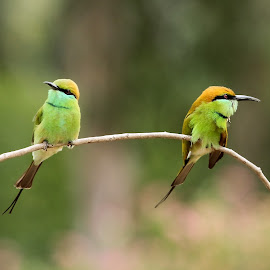 Green Bee-eaters by Sankaran Balaji - Animals Birds ( animalsbirdsnaturebeeeatersgreen )