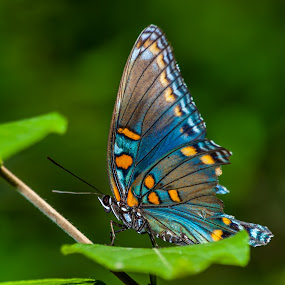 Butterfly  by Joseph Martinez - Animals Insects & Spiders ( orange, butterfly, macro, macrophotography, nature, blue, d200, macro photography, green, macro shot,  )