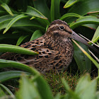 NZ Snipe (Auckland Is Sub)
