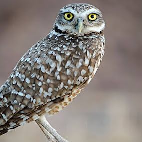Burrowing Owl by Steve Forbes - Animals Birds (  )