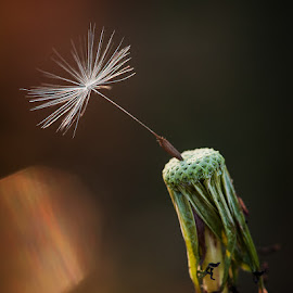 Last man standing 2 by Walter Farnham - Nature Up Close Other plants ( macro, dandelion, color, seed, rim light,  )