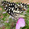 Butterflies of Tamil Nadu