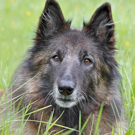 Loyal family member by Mia Ikonen - Animals - Dogs Portraits ( intelligent, loyal, belgian shepherd tervueren, gentle, finland )