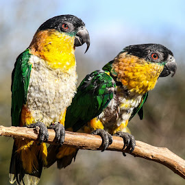 Parrot pair by Garry Chisholm - Animals Birds ( bird, garry chisholm, nature, parrot, wildlife )