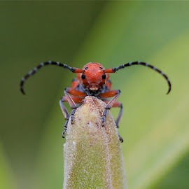 Longhorn Beetle by Paul Marto - Animals Insects & Spiders ( bugs, longhorn beetle, milkweed beetle, insects, beetles )