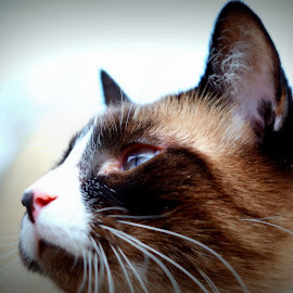 by Pam Satterfield Manning - Animals - Cats Portraits ( cat kittens, cat face, cat, animals, cat portrait, siamese cat, siamese, animal cat, animal,  )