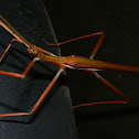 Children's Stick Insect - male