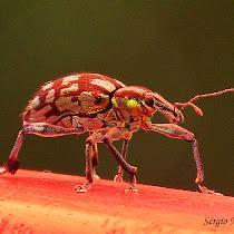 Gorgulhos do Paraná / Weevils from State of Paraná, Brazil