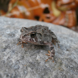baby toad by Jen Rhora - Animals Amphibians ( yard, toad, rescued, rock, baby )