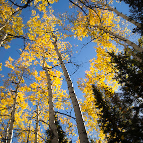 Aspens and Evergreens by Bonnie Davidson - Landscapes Forests ( forests, photograph, yellow & green, colorado, trees, routt national forest, yellow, aspens, landscape, steamboat springs, fall, color, colorful, nature,  )