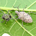 Shieldbug and Exuvia