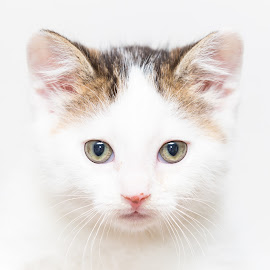 Avalanche by Gary Lura - Animals - Cats Kittens ( cat, kitten, shelter, adopt, rescue, baby, young, animal )