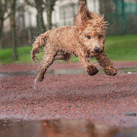 Mid air with Sam  by Michael  M Sweeney - Animals - Dogs Running ( labradoodle, play, puppy, michael m sweeney )