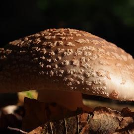 evening sun by Claudia Weber-Gebert - Nature Up Close Mushrooms & Fungi ( mushroom, macro, nature, forest, funghi, close up, evening, sun )