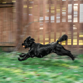 by James Boorn - Animals - Dogs Running (  )