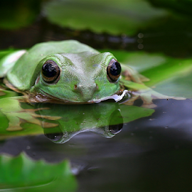 Frog at pond by Esther Pupung - Animals Amphibians