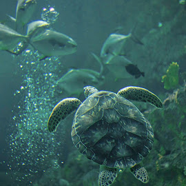 Sea Turtle by Carol Plummer - Animals Sea Creatures