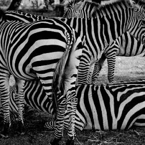 Zebras by Ferdinand Ludo - Black & White Animals ( coron, kalawit safari, palawan, zebras,  )