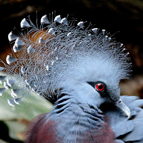 Victoria Crown Pigeon by Ralph Harvey - Animals Birds ( victoria crown pigeon, bird, wildlife, ralph harvey, bristol zoo )