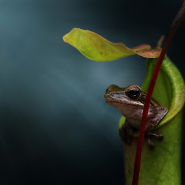Mr. Frog by Yusri Harisandi - Animals Amphibians