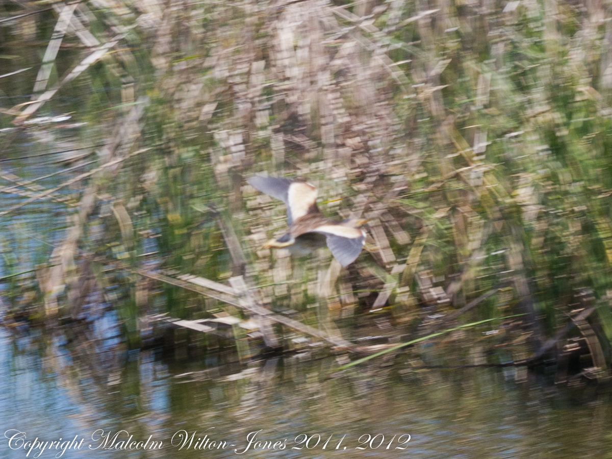 Little Bittern; Avetorillo