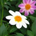 Single petaled dahlia